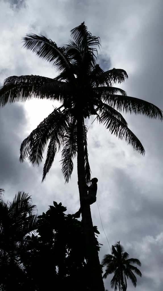 Fiji coconut tree climber
