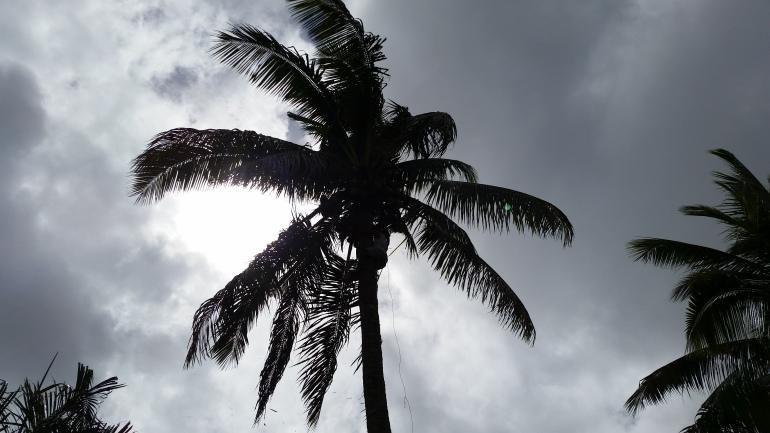 Fiji coconut tree climber