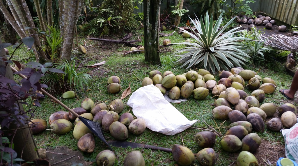 Fiji coconut harvest