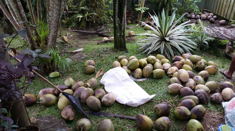 Fiji coconut harvest