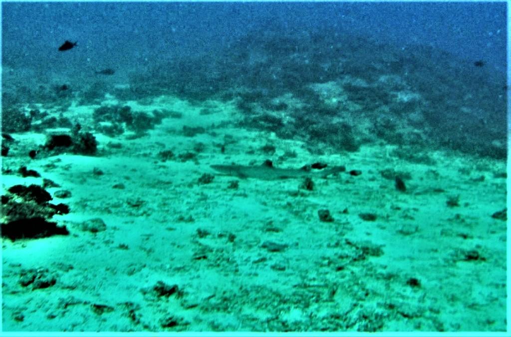Beqa Fiji dive shark
