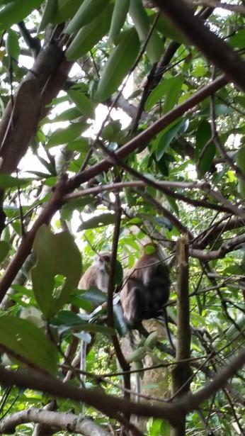 MacRitchie Reservoir monkeys
