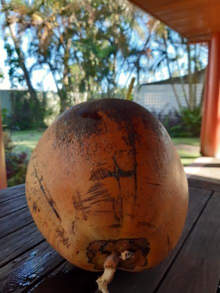 Golden coconut Fiji