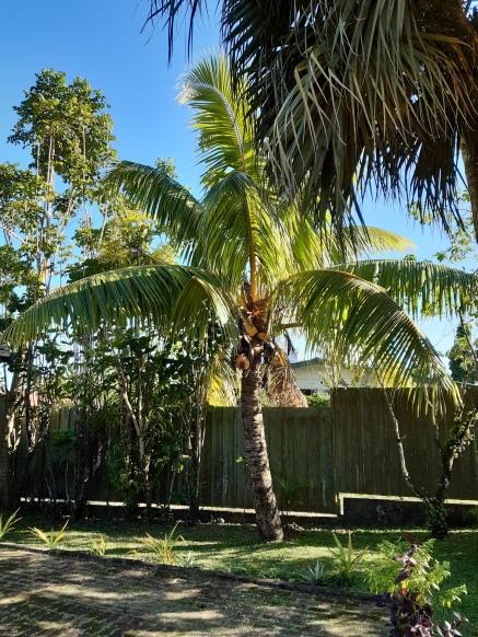 Golden coconut tree Fiji