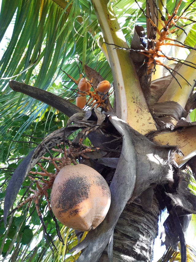 Golden coconut on tree Fiji