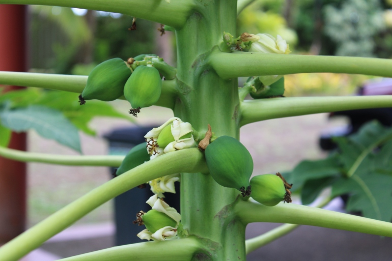 young papaya tree Fiji fruit