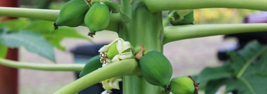 young papaya tree Fiji fruit