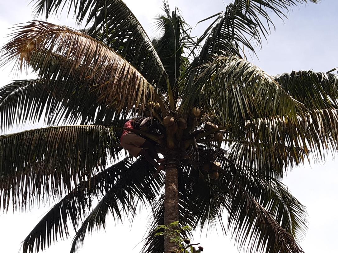 coconut harvest Fiji