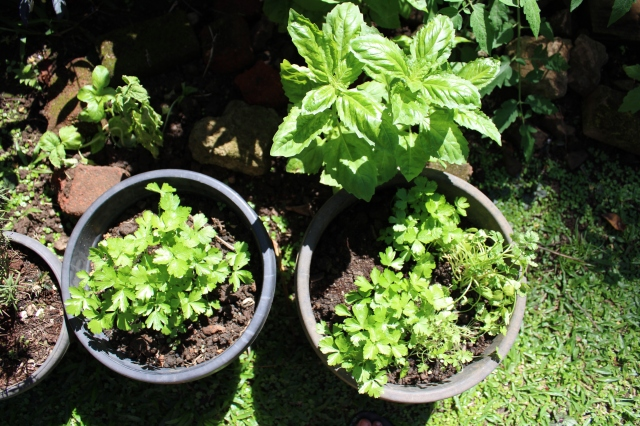 basil parsley Fiji garden