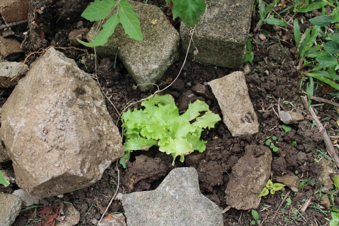 lettuce Fiji garden